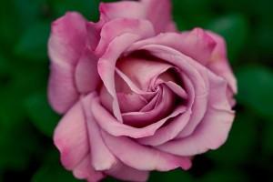 薔薇_ピンク